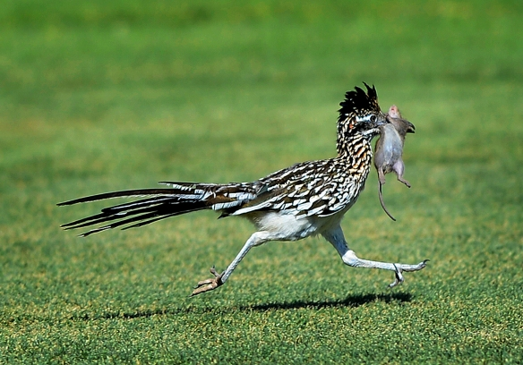 A Greater Roadrunner carries lunch in the form of a white-footed mouse across the back nine of Midland Country Club during the final day of the Midland Women's City Golf Tournament on Thursday, July 16, 2015.